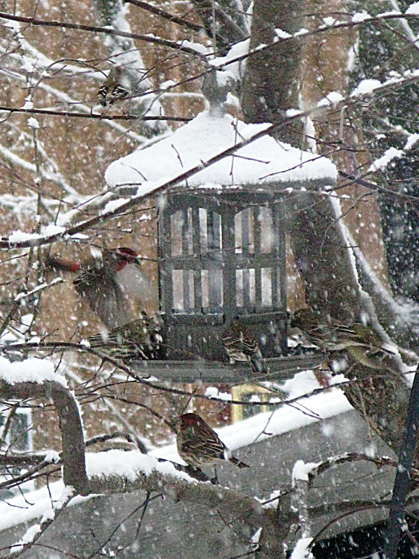 finches in the snow