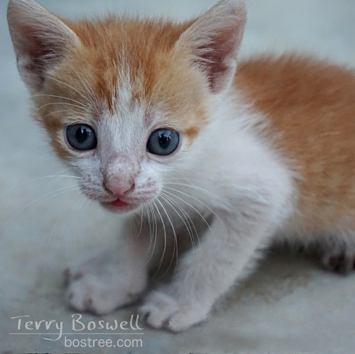 DSC09426-3cp1x1-blue-eyed-kitten-terry-boswell-tbb